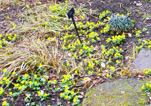 Winter Aconites blooming in the sun.