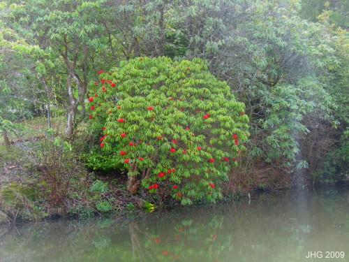 Rhododendron strillgilosum overlooking the pond.