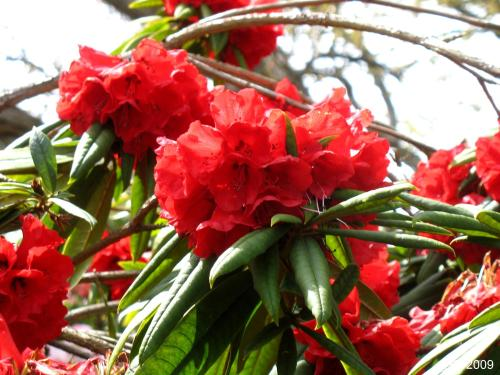 Brillant Red Blossoms of Rhododendron strigillosum.