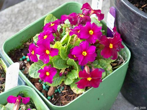 Primula 'Hereford'