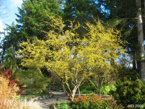 Cornelian Cherry Dogwood.