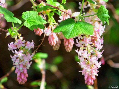 A Paler Form of Red Flowering Currant, Possibly 'Tydman's White'.
