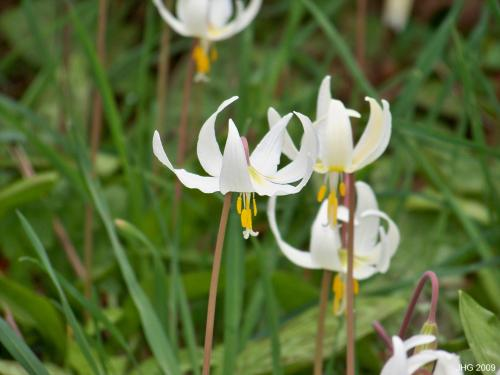 Erythronium oreganum Known as the White Fawn Lily.