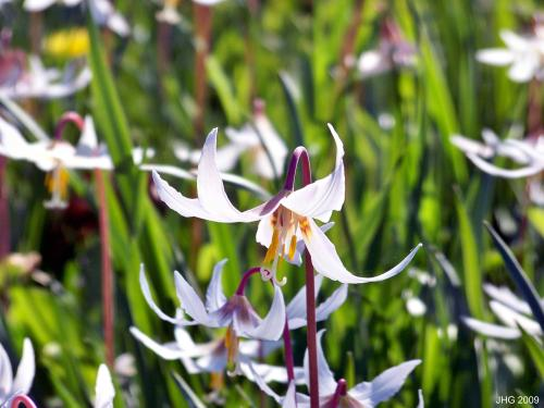 The Delicate Highlights of Maroon and Yellow Seen in White Trout Lily Blosssoms.