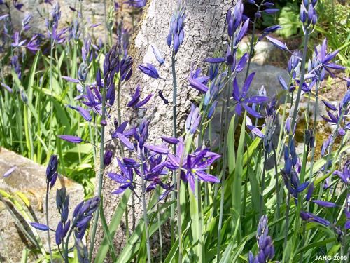 Camassia quamash in the Terrace Garden at Government House.