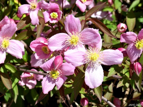 Clematis montana 'Tetrarose' flowers are similar to Japanese Anemone's