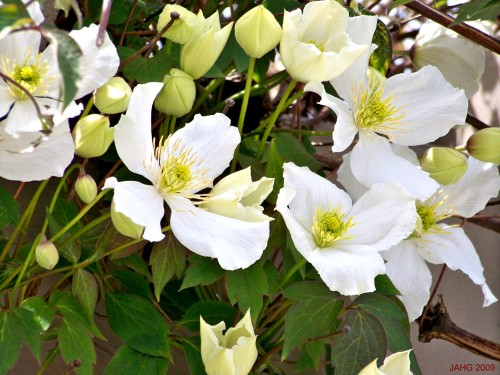 Beautiful Large Petalled Clematis montana f. grandiflora.