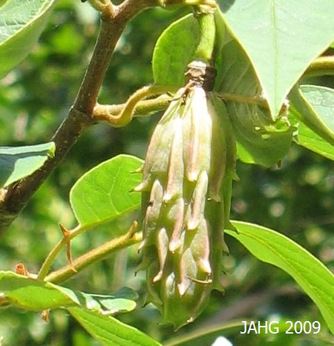 The Other-worldlyMagnolia sieboldii  Seedpod Still Ripening.