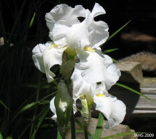 This Pure White Iris x germanica Shows Off It's Yellow Beard.