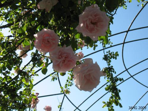 'New Dawn' Roses Hnaging Down From the Arbor In Sidney.