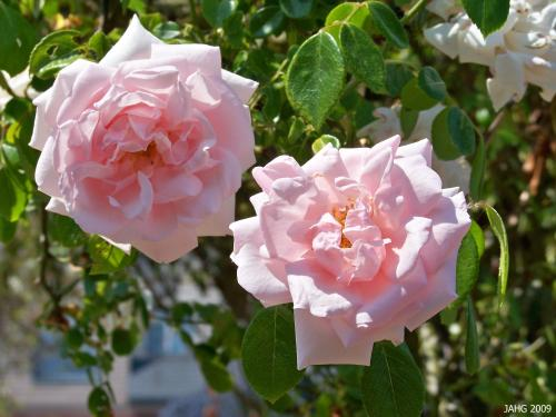 'New Dawn' Roses Are Semi-double Flowering.