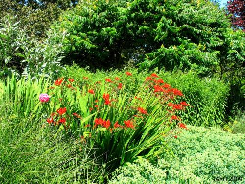 Crocosmia 'Lucifer' gleaming in the long boarder at Playfair Park in Saanich.