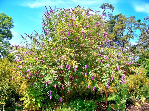 A 'Buddleja davidii' pruned into a tree, very attractive and fragrant.