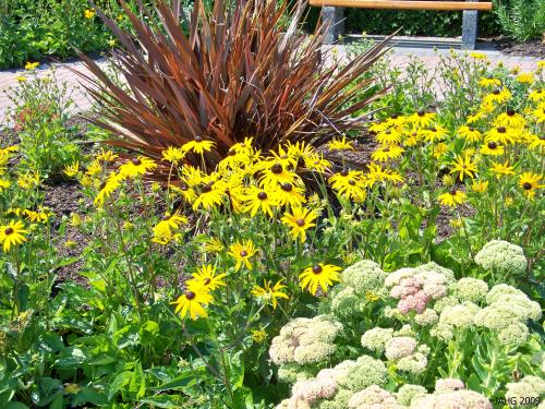Rudbeckia 'Goldstrum' looks great with other vibrant and strongly colored plants.