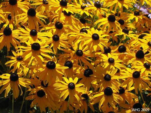 The gold color of Rudbeckia 'Goldstorm' is strong and often dominant in garden bed designs.