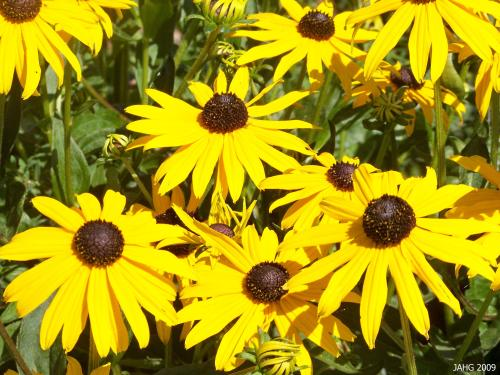 What Can be Better Than a 'Rudbeckia Goldstorm' at the Height of Summer?