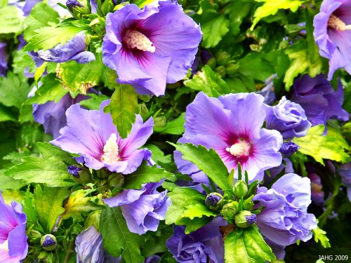 Hibiscus syriacus 'Blue Bird', one of the most striking flowers in the plant world.