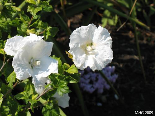 The purest of whites seen in the pristine Hibiscus syriacus 'Diana'