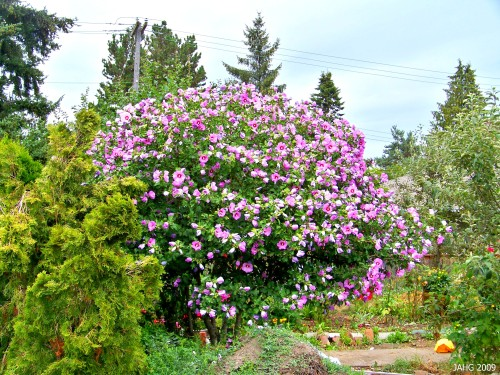 A large Hibiscus syriacus shrub in full sun along upper Quadra St. in Saanich.