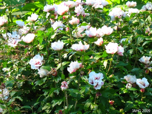 An unusal Double form, likely to be Hibiscus syriacus 'Lady Stanley'