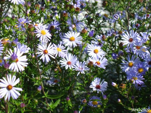 The only color of Symphylotrichum chilense(California Aster) I have seen here.
