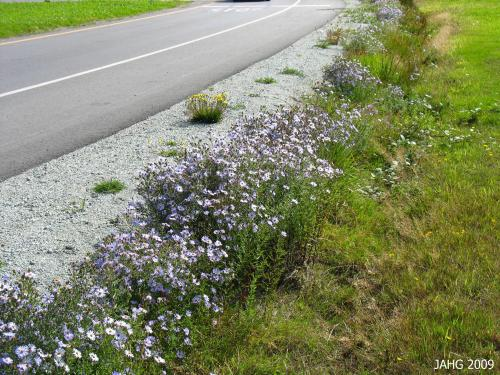 This wonderful display of California Asters was found along Widgeon Rd. in North Saanich in 2007.