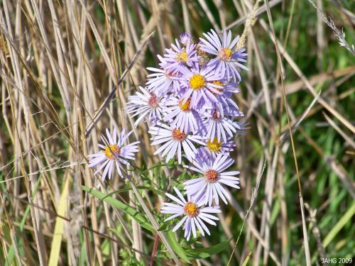 The common mauve of the California Aster seen along roads here.
