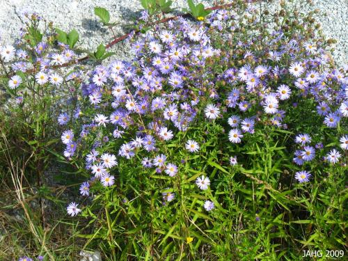 The soft flower color and attractive foliage make California Asters an attractive addition to the garden.