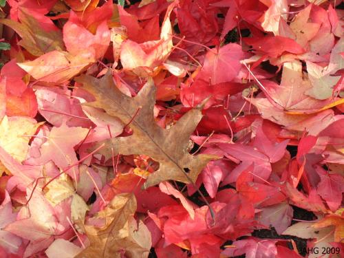A crimson bed of Sweet Gum leaves under a crispy brown Red Oak leave.