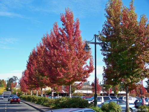 The Sweet Gum trees in Broadmead Village Shopping Centre in Saanich B.C.