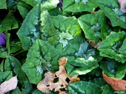 The interesting markings of Ivy-leaved Cyclamen are varied and colorful in the cool grey, drab winters here.
