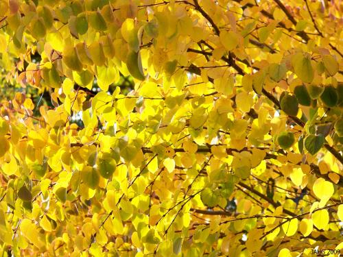 The striking golden tones of a happy Katsura tree changing color in the fall.
