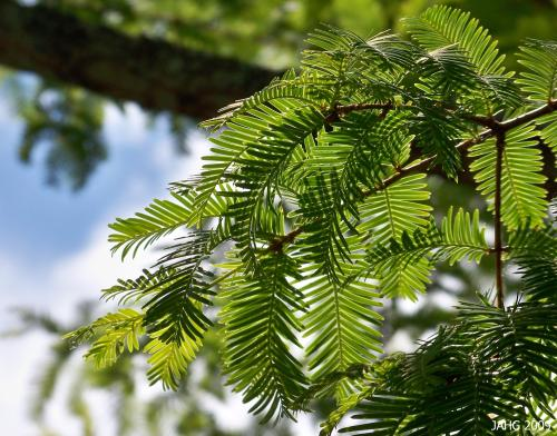 The delicate branches of the Dawn Redwood give this tree a delicate whimsical look.