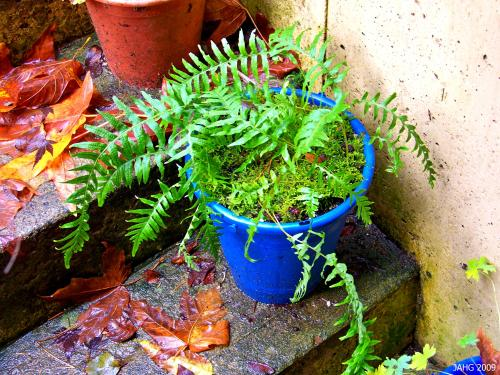 My Licorice Fern growing in a colorful bucket on a step near my door.