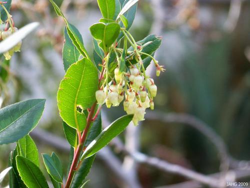 Arbutus unedo blossoms