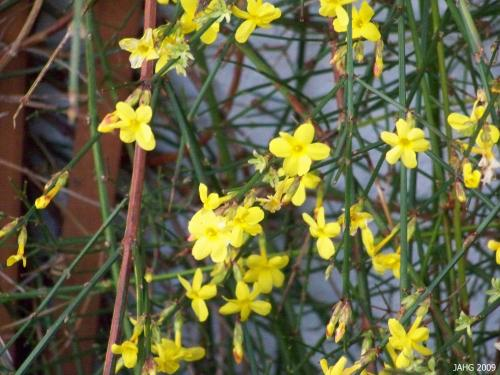 Jasminium nudiflorum is Winter Jasmine