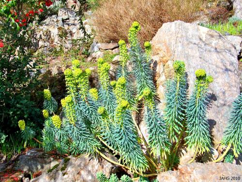 I think this is what Euphorbia characias subsp. wulfenii might look like growing in the wild.