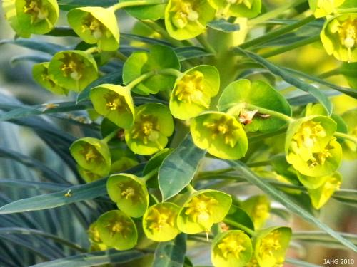 The chartreuse bracts are much bigger than the Euphorbia characias flowers.