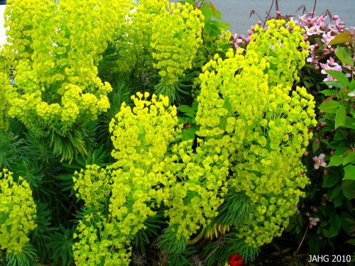 The color from the floral bracts of Euphorbia characias lasts for months