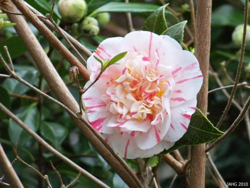 I found this Camellia Japonica cultivar at Esquimalt Gorge Park where a famous Japanese Tea Gardens are.
