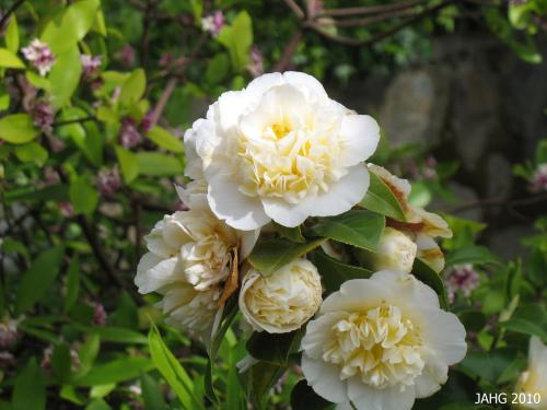 Camellia japonica 'Jury's Yellow', a 1976 developement from New Zealand.
