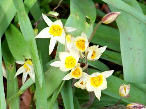 Tulipa turkestanica has small starry flowers and a lax habit.