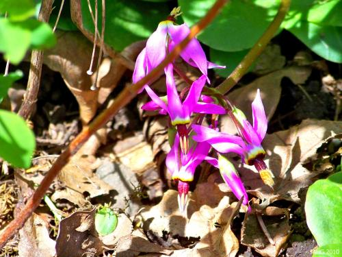 Dodecatheon hendersonii is known as Broad Leaved Shooting Star.