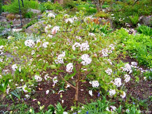 A recently planted Virburnum carlesii is found in the lower cutting garden beside Government House.