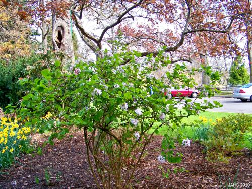 This Viburnum carlesii is found in a shady part of Beacon Hill Park.