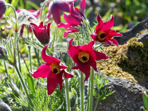 Pulsatilla vulgaris 'Rubra' is one of the glorious color forms which has a real knock-your-socks color.