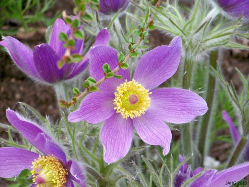 The traditional purple form of Pulsatilla vulgaris is a happy camper here in Victoria.