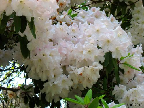The flowers of Rhododendron 'Miss Josephine Firth' fade to almost white as they age.