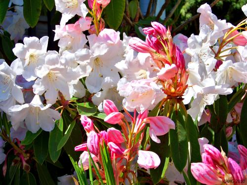 Rhododendron 'King George' is considered to be the best of the 'Loder' Rhododendrons.