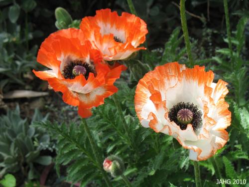 Papaver orientale 'Picotee' is one of the more interesting flower forms  which is commonly seen.
